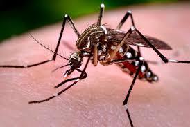 Muỗi Aedes