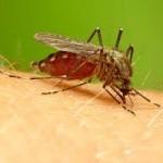 Muỗi Gây Bệnh Sốt Rét