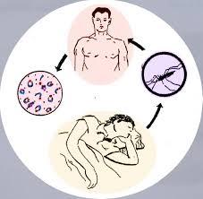 Sơ đồ gây bệnh của Muỗi